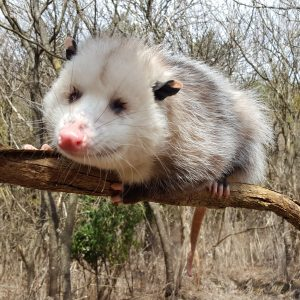 Pedro the Opossum