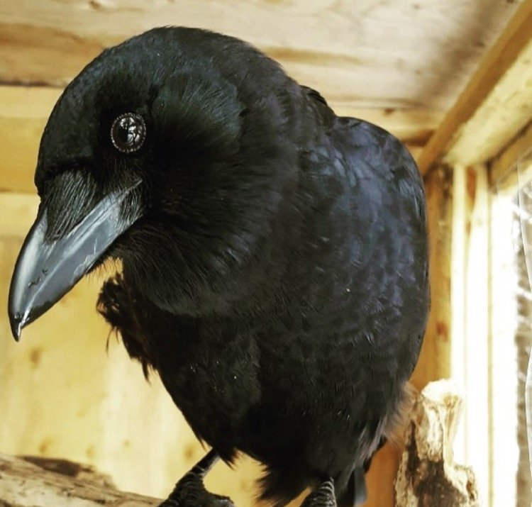 Russell (the) Crow
