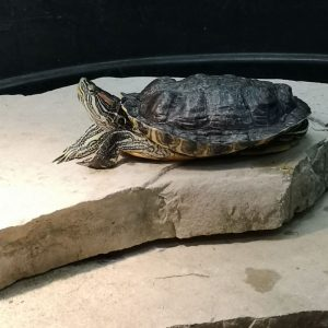 Wilbur the Red-Eared Slider