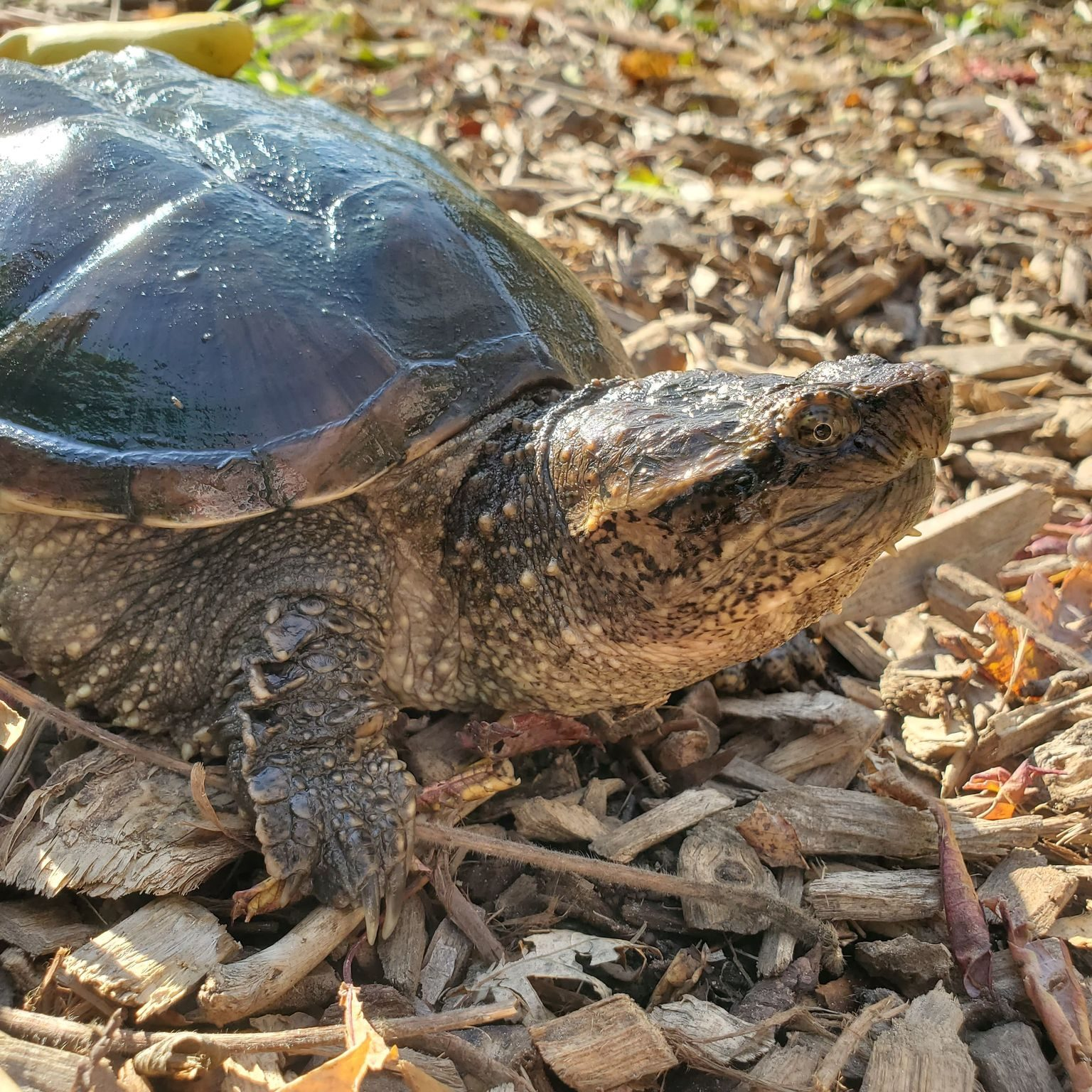 Fred the Musk Turtle