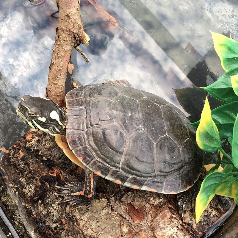 Charlotte the Map Turtle